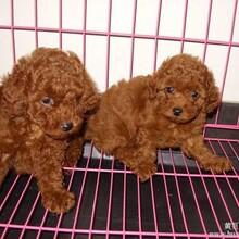 云南卖泰迪临沧卖泰迪临沧买泰迪狗场常年出售纯种泰迪