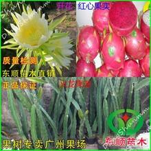 火龙果苗根须发达红肉白肉.台湾品种.火龙果树苗当年可结果