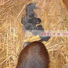 新余哪里有卖竹鼠种苗
