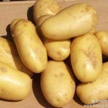 国家级高产脱毒马铃薯种子批发公司图片