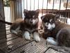 本地养殖场优价出售高品质阿拉斯加幼犬多只可选可见狗父母
