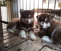 青岛阿拉斯加犬出售/青岛阿拉斯加纯种小狗1600起