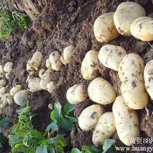 土豆种子价格行情走势