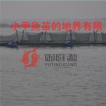 甲鱼生态甲鱼野生甲鱼批发价格图片