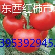 齐达利大红西红柿上市价格图片