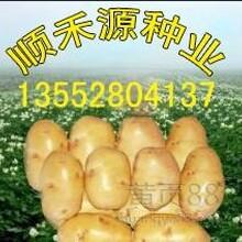 土豆种子价格东北优质土豆地区马铃薯种子