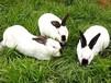 安徽杂交野兔养殖成本杂交野兔养殖厂家