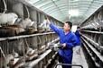 江西肉食兔品种江西兔子养殖业
