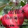 红肉苹果苗,红色之爱苹果苗图片