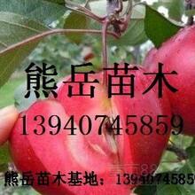红肉苹果苗,红色之爱苹果苗