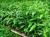 惠州哪里有卖沉香苗沉香袋苗惠东谭公种苗场大量沉香苗销售