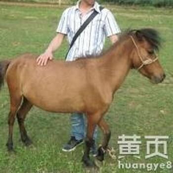 蒙古肉马多少钱优质矮马价格