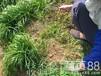 昌黎县冬季养羊可以种植什么牧草种子好