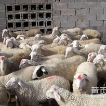 小尾寒羊羊羔杜泊綿羊小羊崽成年種羊大型湖羊養殖基地圖片