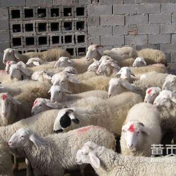 场家直销小尾寒羊出售小尾寒羊羊羔育肥期波尔山羊黑山羊