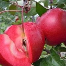 河北果树研究所大量批发嫁接桃树苗,河北苹果苗柱状树苗哪里有?