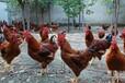 山东嘉祥红玉鸡苗孵化场出售脱温鸡苗半斤红鸡苗
