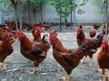 山东嘉祥红玉鸡苗孵化场出售脱温鸡苗半斤红鸡苗图片