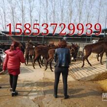 您想养肉驴吗优良肉驴出售肉驴养殖效益图片