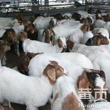 杜泊肉羊价格肉羊苗多少钱一只杜泊绵羊出售纯种山羊苗报价