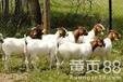 湖北宜昌肉羊养殖