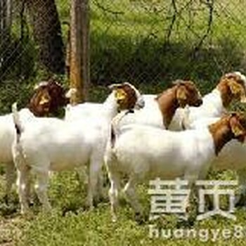 育肥羊的养殖技术