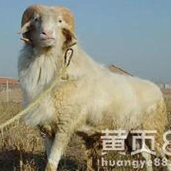 厂家直销自繁自养湖羊养殖基地小尾寒羊出售优质湖羊肉羊