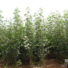 陕西哪里有苹果苗丨四川桃树苗矮化树苗丨山西露天苹果品种