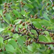 杜梨苗批发杜梨苗最新杜梨苗行情,杜梨种子