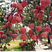 四川柱状苹果苗购买价格丨烟富系列苹果苗品种销售丨矮化桃树苗