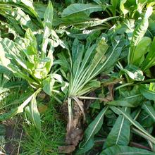 广州哥利供应优质菊苣牧草种子图片