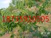 米经3公分4公分5公分核桃树批发价格