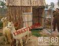 羊驼养殖场现货出售羊驼租赁羊驼家龙羊驼养殖场图片
