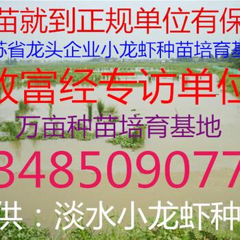 秋季龙虾苗价格秋季龙虾苗批发