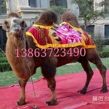 庙会羊驼租赁羊驼价格家龙羊驼养殖场图片