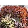 香椿苗品种大棚香椿苗哪里卖香椿苗红香椿苗品种