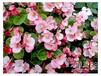 昆山花卉花坛花卉园林花卉四季海棠太阳花美女樱等选大沐绿化