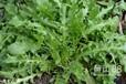 野菜种子大叶荠菜种子