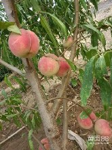 厂家大量供应新河南品种桃子树苗丨晚熟桃子苗嫁接苗丨占地桃树