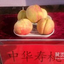 晚桃树批发优良嫁接食用晚桃树苗极晚熟桃树苗品种