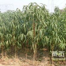 河南老品种桃树苗销售基地安徽新品种晚熟桃树苗销售厂家