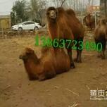 骆驼出售价格骆驼养殖场山东菏泽李楼村图片