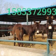 肉驴德州肉驴出售山东六合肉驴养殖场图片